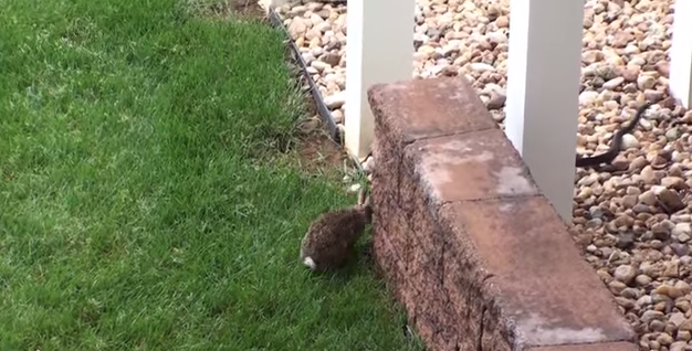 Rabbit fights