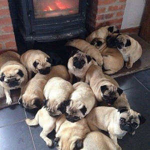 Group-Pugs-Called-Grumble